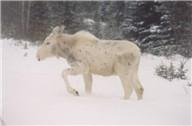 wildlifealbino.jpg -- albino moose