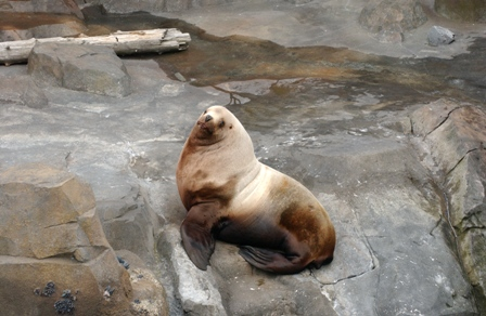 Woody - Sea Lion