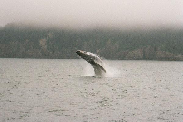 wildlifegreywhale.jpg -- grey whale