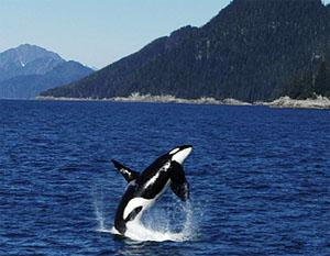 wildlifeorca.jpg -- orca