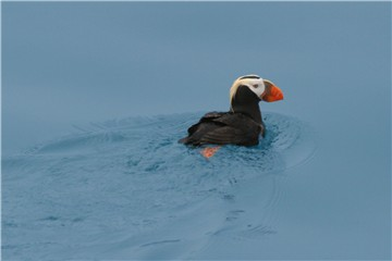 wildlifepuffin.jpg -- puffin